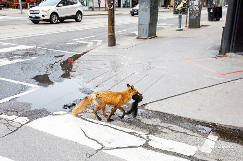 شکار سنجاب توسط روباه در خیابانهای تورنتو