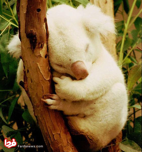 این کوالای ناد ردر سال 1997 در باغ وحش سن دیگو متولد شد. نام اون اونیا بیری به معنی پسر ارواح است.