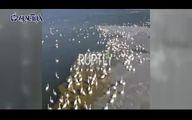 فیلم: مهاجرت هزاران قوی سفید به ساحل دریای خزر